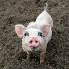 Schwein (Vatertag)